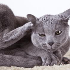 Macska bőre allergiás