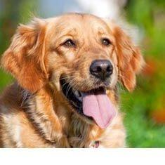 Malassezia DOG