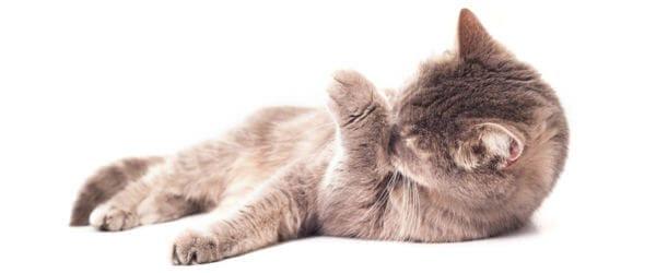 Feliway for cats