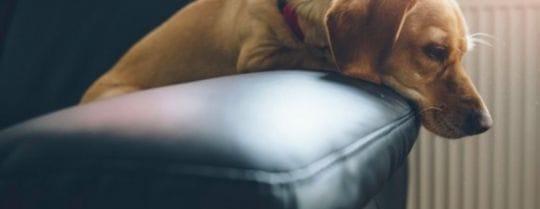 cane a casa da solo