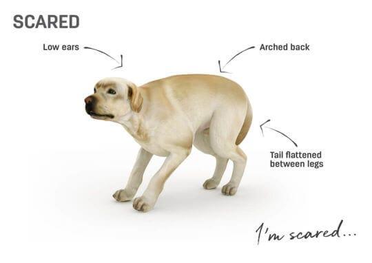 lenguaje corporal perro - asustado