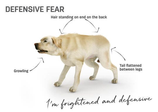 Dog body language - defensive fear