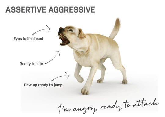 Dog body language - assertive aggressive