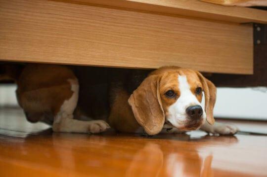 Hund som gömmer sig från gästerna