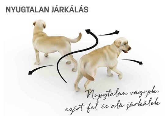 kutya test beszéd - nyugtalan járkálás