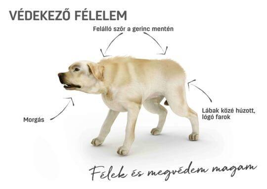 Kutya testbeszéd - védekező félelem