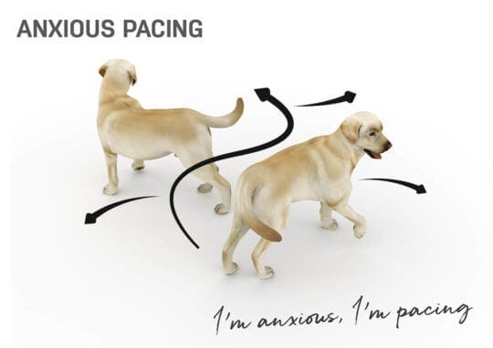 dog body language - anxious pacing