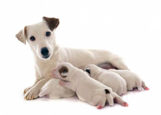 Moederhond verspreidt feromonen om pups gerust te stellen.