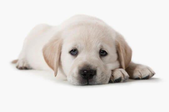 štěně může být smutné, když zůstane samo