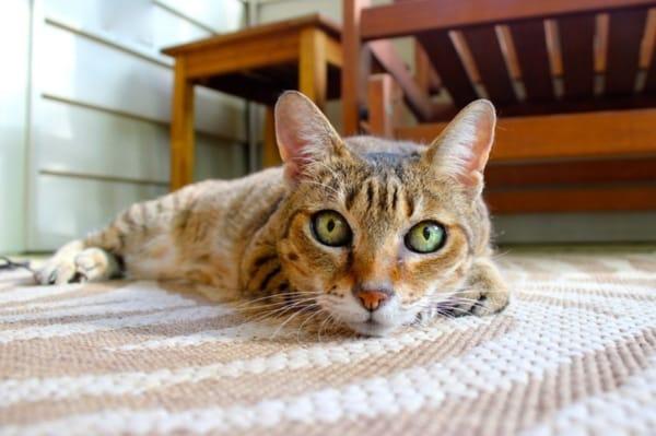 Czy Kot Nasikał Na Dywan Bo Jest Złośliwy