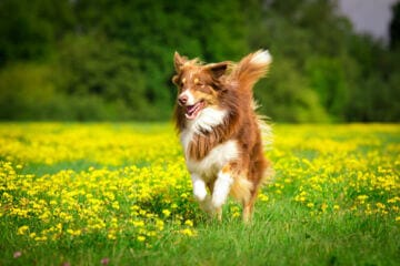 active dog running in flowers