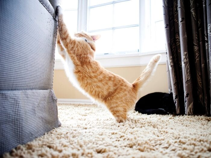 cat scratching the sofa