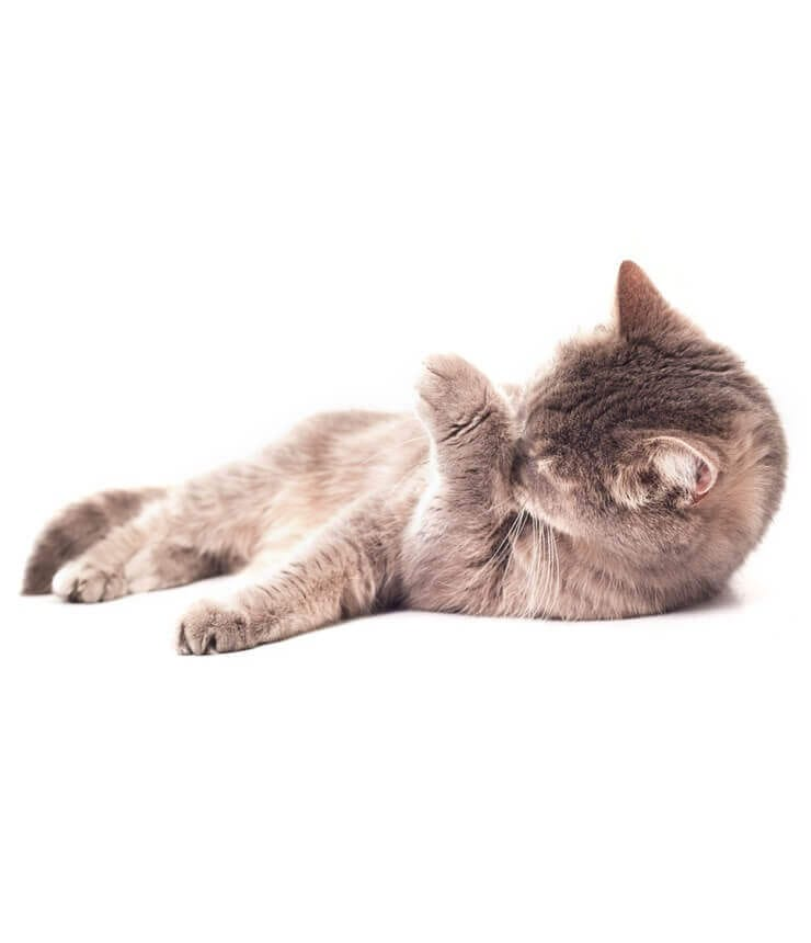 los gatos se lamen demasiado