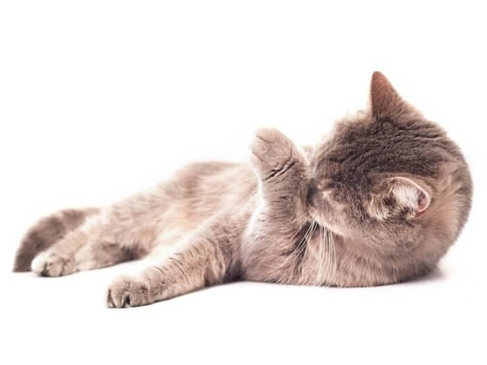 Gato se lambendo