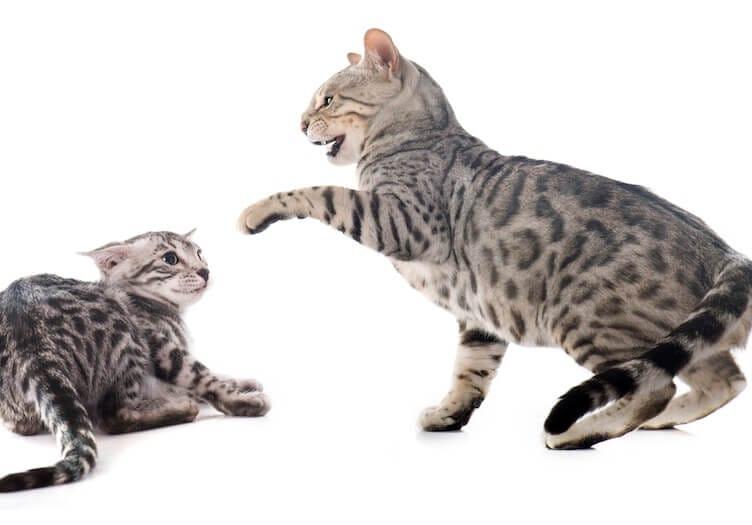 mes deux chats se battent