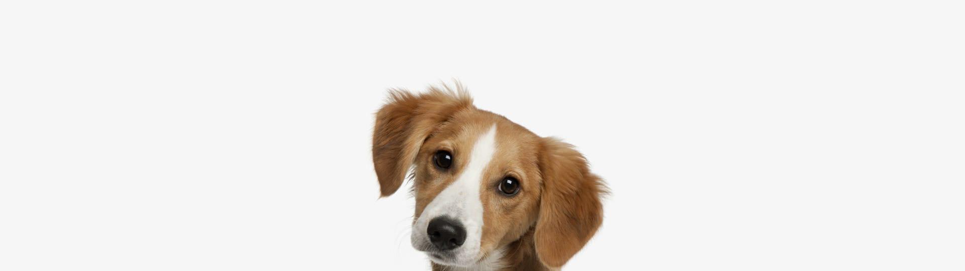 hundeadfærd