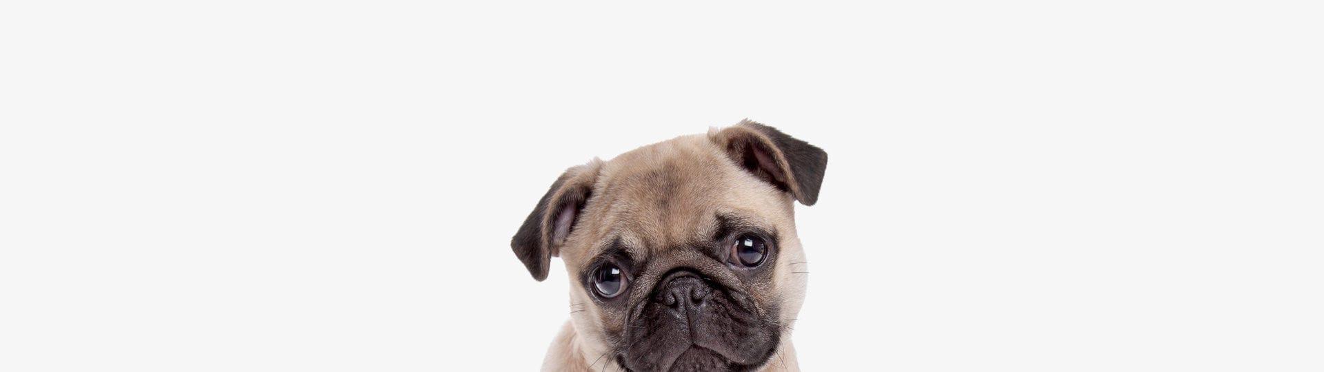 chiens trop stressés