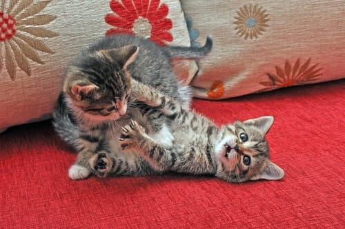 Kittens: playing or fighting?