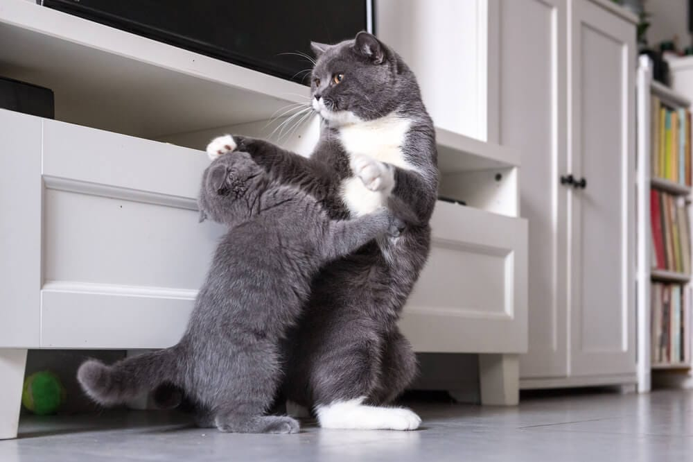 why do cats fight