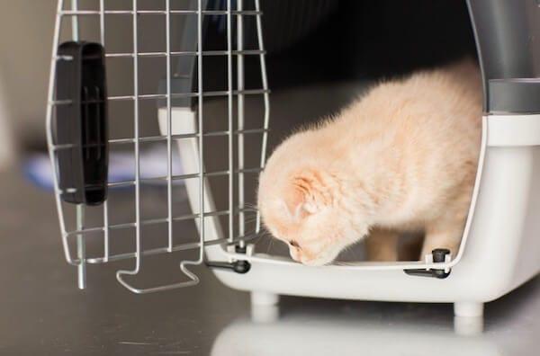 chaton hésite à sortir de sa caisse de transport