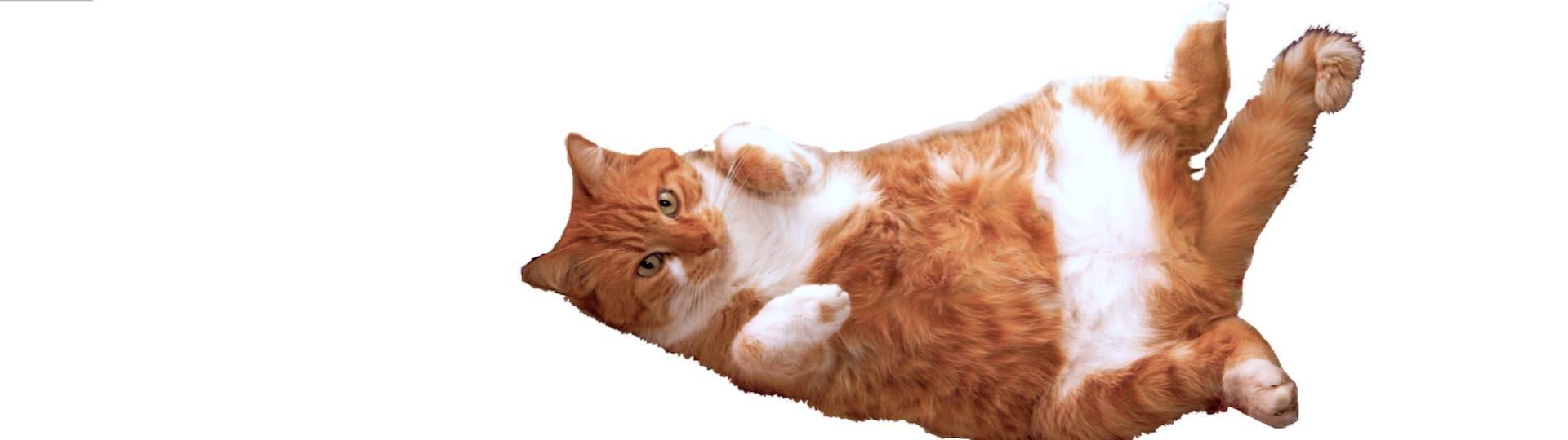 Är din katt överviktig