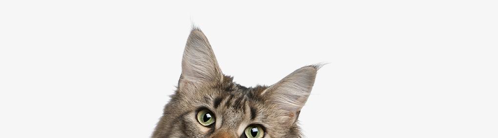 Feline Stress