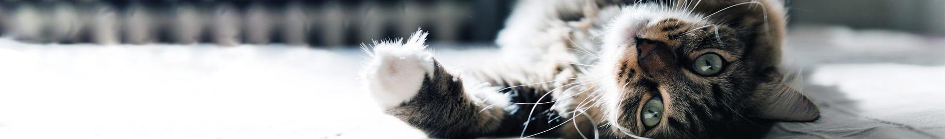Upptäck hur Feliway kan hjälpa din katt