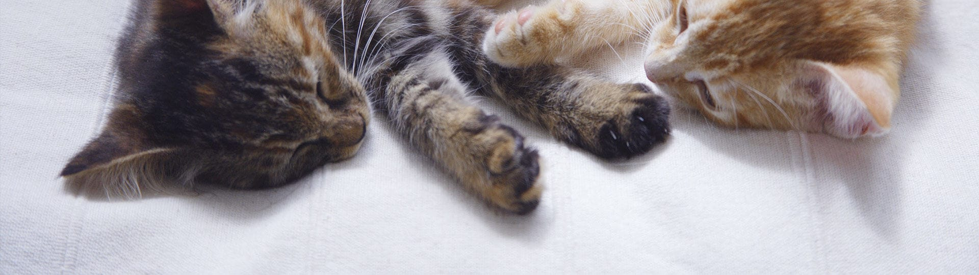 Getting a new cat and how to introduce it to other animals and people