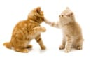 cats behavior showing conflict