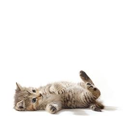 A boldog macska megmutatja a hasát és játékra hív