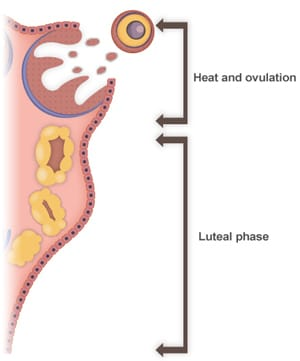 Heat and ovulation and luteal phase