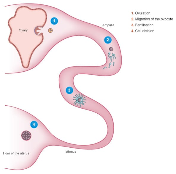 Fertilisation in the oviduct