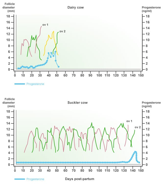 Interval between calving and ovulation