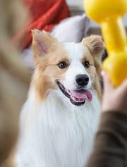 Remove Fleas on Dogs - Shepherd