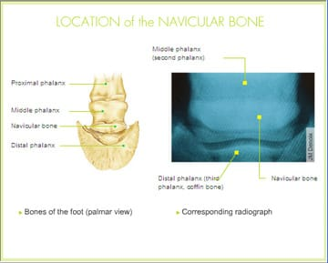 PUB_020_NS_location_of_navicular_bone