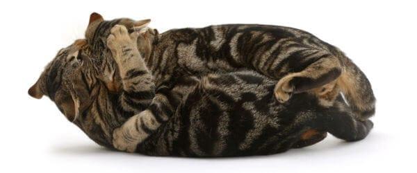 deux chats se battent