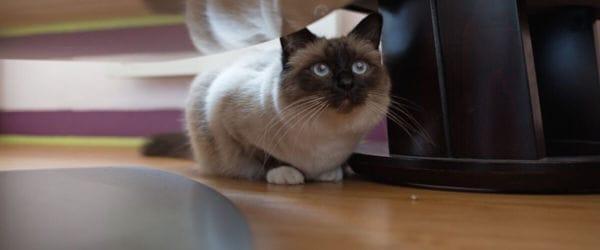 Ongewenst kattengedrag: angst/verstoppen